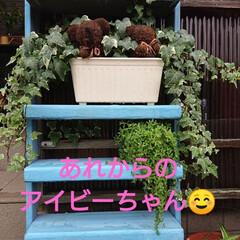 花のある暮らし/秋/暮らし/庭のある暮らし/ガーデニング/花/... 🍀もりもりの熊さんの仲間たち🍀  アイビ…