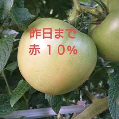 JA/GAP/南郷トマト/プランドトマト/トマト 🍀私の毎日の危険🍀  この間、トマトの枝…(2枚目)