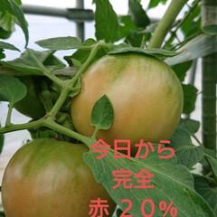 JA/GAP/南郷トマト/プランドトマト/トマト 🍀私の毎日の危険🍀  この間、トマトの枝…(3枚目)
