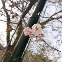 東北の春/住まい/暮らし 🍀東北の春🍀  おはよーございます❗ 昨…