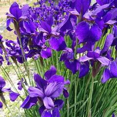 アヤメ/庭のある暮らし/初夏/暮らし 🍀わたし~続編~🍀  歩く姿は百合の花❤…