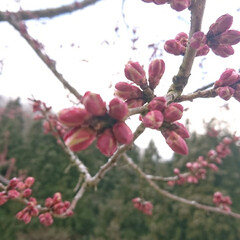 東北の春 🍀うっすら雪は 昨日の朝です🍀  やっと…