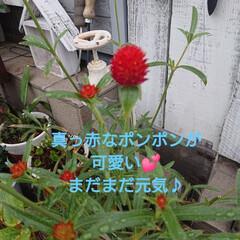 花のある暮らし/秋/暮らし/庭のある暮らし/ガーデニング/花/... 🍀もりもりの熊さんの仲間たち🍀  アイビ…(8枚目)