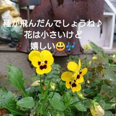 花のある暮らし/秋/暮らし/庭のある暮らし/ガーデニング/花/... 🍀もりもりの熊さんの仲間たち🍀  アイビ…(5枚目)