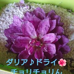 庭のある暮らし/庭の花/ハンドメイド/DIY/ナチュラル/ドライフラワー 🍀一輪のダリア🍀  一人凛々しく咲いてい…