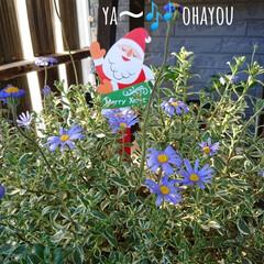 クリスマス雑貨/ガーデニング/緑のある暮らし/玄関/セリア/雑貨 🍀晴天なり🍀  今週末から ❄️雪予報ら…(1枚目)