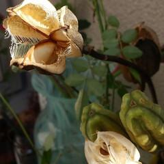 木の実/植物/ドライフラワー/ハンドメイド/雑貨/ナチュラル ♡ウバユリ  お山のウバユリの殻をいただ…