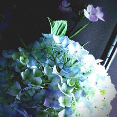 あじさい/季節インテリア/雑貨/暮らし/七夕飾り/七夕インテリア/... ♡紫陽花 ♡切り花  我が家のあじさいの…