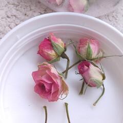 バラ/花/ドライフラワー ♡切り花から ♡根付く  かわいいピンク…(1枚目)