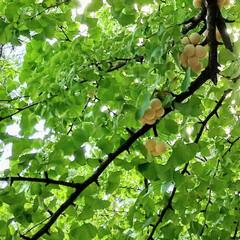 散策/木の実/銀杏/おでかけ/木の実好き 観て良し👀💕 食べて良し😋💕…  でも拾…(1枚目)