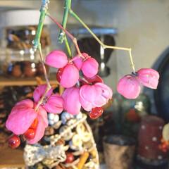 種/木の実/植物 ♡マユミ  女の子みたいな名前…👧 ピン…