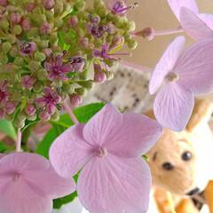 紫陽花/おしゃれ/暮らし ♡額紫陽花のはな ♡額紫陽花のガク  今…