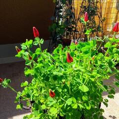 種から/赤い花/クリムゾンクローバー/ガーデニング/花のある暮らし/ガーデン雑貨/... ♡クリムゾンクローバー ♡ストロベリー・…(2枚目)