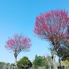 花/梅/散策/奈良公園 ♡梅の花  青い空に 紅梅💠  のんびり…(1枚目)