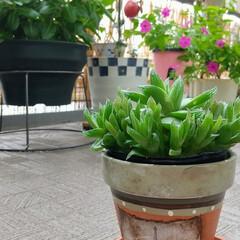 リメイク/再利用/園芸/多肉植物/リメイク鉢/ペイント鉢/... ♡子沢山なハオルチア ♡リメ鉢  ハオル…(2枚目)
