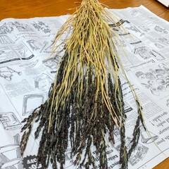 ドライフラワー/雑貨/植物 ♡緑米 (古代米) 稲穂  お正月用飾り…