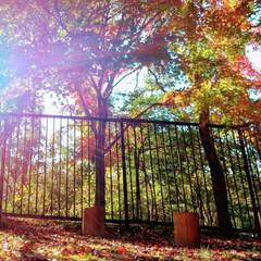 紅葉/植物/散策/散歩/おでかけ ♡紅葉  今日の公園散策。