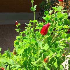 種から/赤い花/クリムゾンクローバー/ガーデニング/花のある暮らし/ガーデン雑貨/... ♡クリムゾンクローバー ♡ストロベリー・…(1枚目)