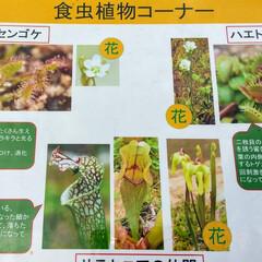 花/植物/植物園/おでかけ/食虫植物 ♡植物と虫 ♡食虫植物  六甲高山植物園…(7枚目)