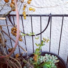 花/多肉植物 ♡火まつり ♡多肉植物  花が咲き始めて…