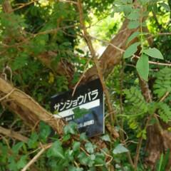 ばらの実/バラ/おでかけ/植物園/植物/花 ♡サンショウバラの実  高山植物園…まだ…(4枚目)