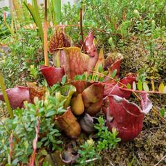 花/植物/植物園/おでかけ/食虫植物 ♡植物と虫 ♡食虫植物  六甲高山植物園…(6枚目)