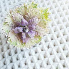 植物/暮らし ♡葉牡丹  お正月前に、色と形が気に入っ…