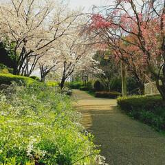 桜/散歩/おでかけ/暮らし いつもの散歩コースを、この時期だけは少し…