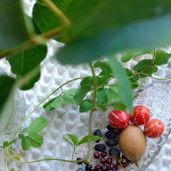 植物 ♡ノブドウ  コバルトブルー色なのが 野…