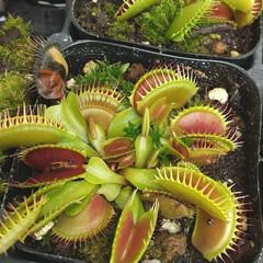 花/植物/植物園/おでかけ/食虫植物 ♡植物と虫 ♡食虫植物  六甲高山植物園…(1枚目)