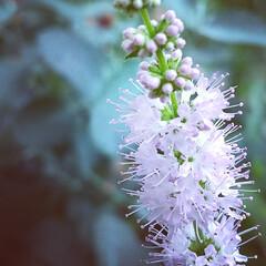 ハーブ/植物/花 ♡ストロベリーミント ♡花  強い風でブ…