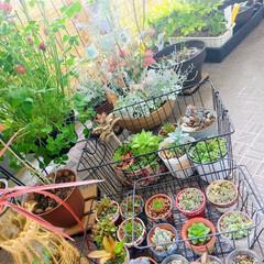 プランター園芸/植え替え/多肉植物/DIY/ベランダ/暮らし/... ♡多肉植物  気候がよくなると これでも…(2枚目)