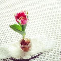 水栽培/チューリップ/暮らし あまりにかわいいので かわいいうちにも一…