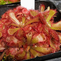 花/植物/植物園/おでかけ/食虫植物 ♡植物と虫 ♡食虫植物  六甲高山植物園…(4枚目)