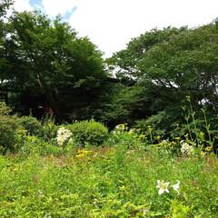 おでかけ/花/植物/植物園 ♡ヤマユリ  六甲高山植物園の【ヤマユリ…(2枚目)