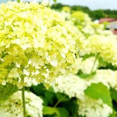ガーデン/道の駅/あじさい/アジサイ/紫陽花/令和元年フォト投稿キャンペーン/... 昨日に引き続き、しらとりの郷の紫陽花です…