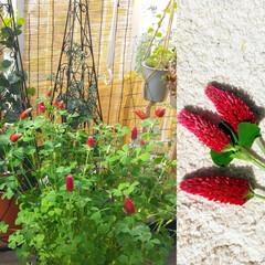 ストロベリーキャンドル/赤い花/ガーデニング/花のある暮らし/ガーデン雑貨/ガーデニング雑貨/... ♡クリムゾンクローバー🍓🕯️  たくさん…(1枚目)