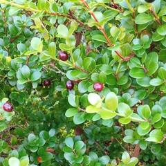 植物/木の実/散歩/散策 ♡ツゲノミ  赤い実に負けないくらい 丸…
