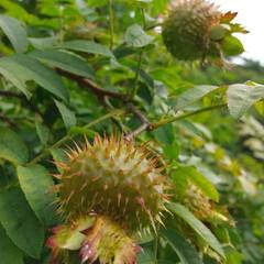 ばらの実/バラ/おでかけ/植物園/植物/花 ♡サンショウバラの実  高山植物園…まだ…(2枚目)