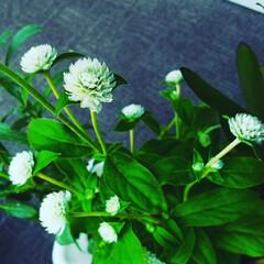 暮らし/花 ♡千日紅 ♡鉢植え  白の千日紅を見つけ…