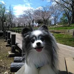 パピヨン/犬/散歩/すき/桜/公園/... パピヨン11才 名前は「ぱんだ」 お散歩…
