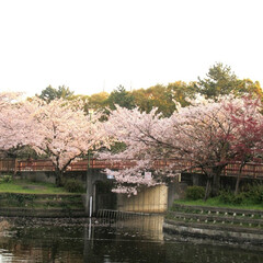 平成最後の一枚 平成最後桜(^^)v 今年の桜は長持ちし…