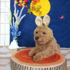 中秋名月/お月見/うさぎ/愛犬/うちの子ベストショット 中秋名月、お月見🎑✨ 今年は13日(金)…