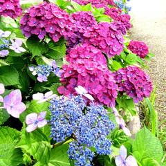 紫陽花/梅雨時/アピール/雨季ウキフォト投稿キャンペーン 紫陽花が直径20㎝位に重そう😂 紫、赤紫…
