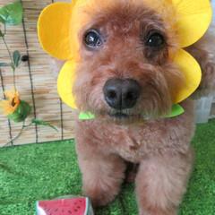 ひまわり🌻/愛犬/夏模様 夏ひまわり🌻