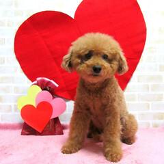 我が家/アイドル/愛犬/プレゼント/心を込めて/バレンタイン2020 我が家のアイドルに心を込めて バレンタイ…