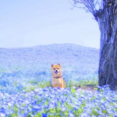 豆柴/ネモフィラ/うちの子ベストショット 青の世界の写真です。その他の写真は 「豆…