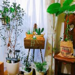 Limia多肉倶楽部/ナチュラルガーデン/広島たにらー/広島タニラー/アイビー/観葉植物/... 今日の多肉ちゃん🌿 たまには室内の植物を…