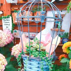 紫陽花/プチプラガーデン/ナチュラルガーデン/寄せ植え/寄せ植え_華/寄植え/... 今日の多肉ちゃん🌿  2枚目〜4枚目 カ…
