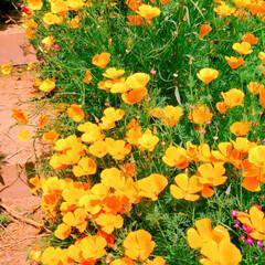 園芸/ガーデニング/花のある暮らし/花苗/種まき/令和の一枚/... 我が家の庭の一部。  どんどん咲き誇るポ…